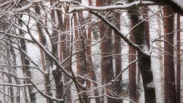 Zahlreiche Bäume ohne Blätter im Schneesturm