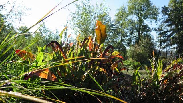 Der Teichampfer wächst nur noch selten in der Region.