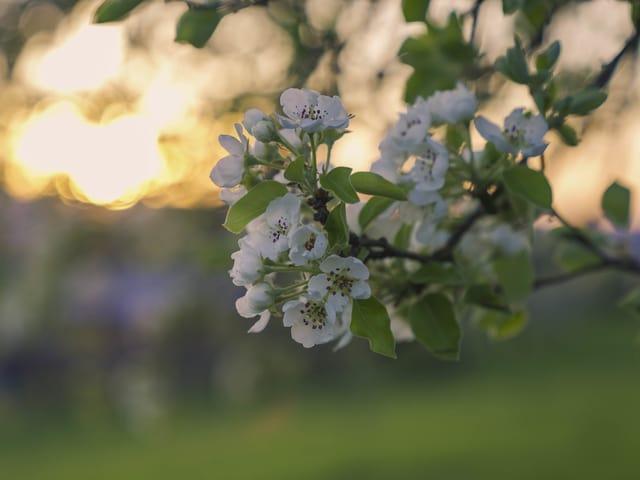 Weisse Blüte eines Baumes im Abendlicht