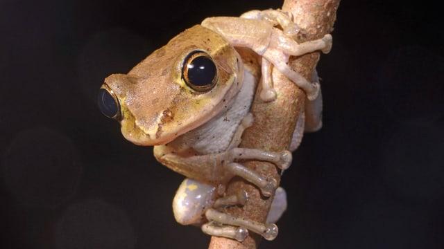 Ein Frosch klammert sich an einem Ast fest.