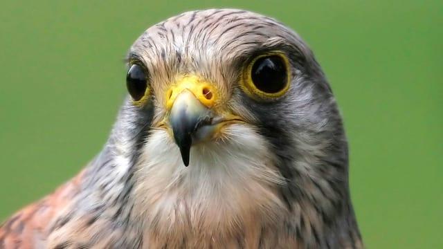 Ein Greifvogel mit spitzem Schnabel und grossen dunklen Augen.
