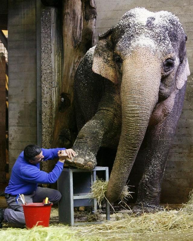 Ein Pfleger des Zürcher Zoos bearbeitet den Fuss von Elefantendama Druk.