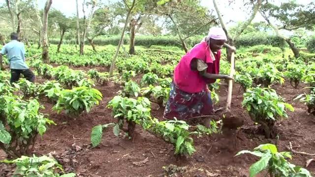 Arbeiter auf Kaffee-Plantage.