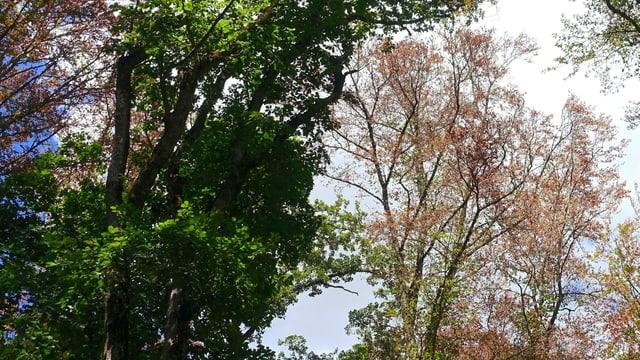 Eine grüne Eiche, daneben eine Buche mit nur wenigen und braunen Blättern