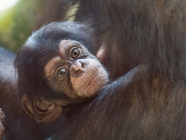 Schimpansin Ponima