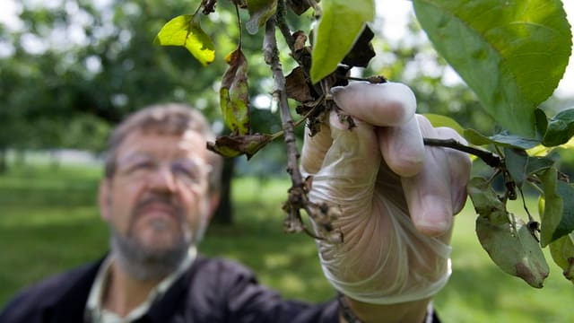 Mann mit Gummihandschuh greift nach einem Ast an einem Obstbaum