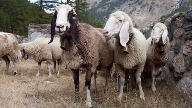 Seltene Schafe auf Weide