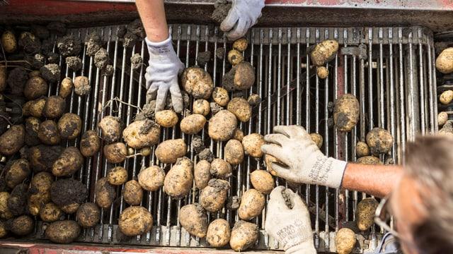 Kartoffelernte.