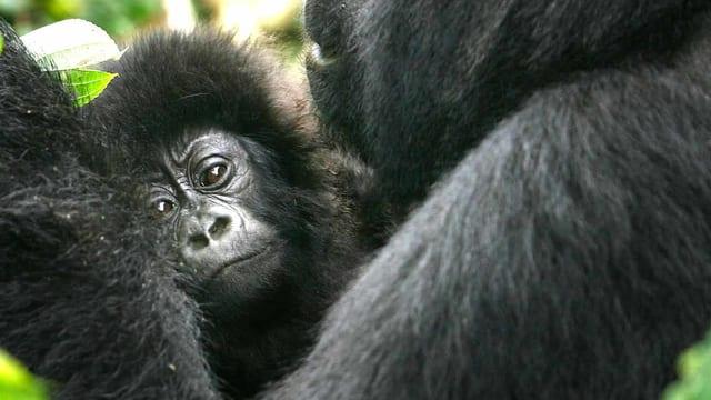 Ein Baby-Gorilla im Virunga Nationalpark im Kongo.