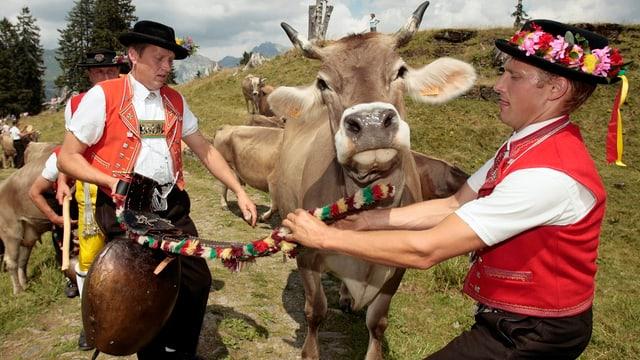 Zwei Sennen entfernen einer Kuh die Glocke.