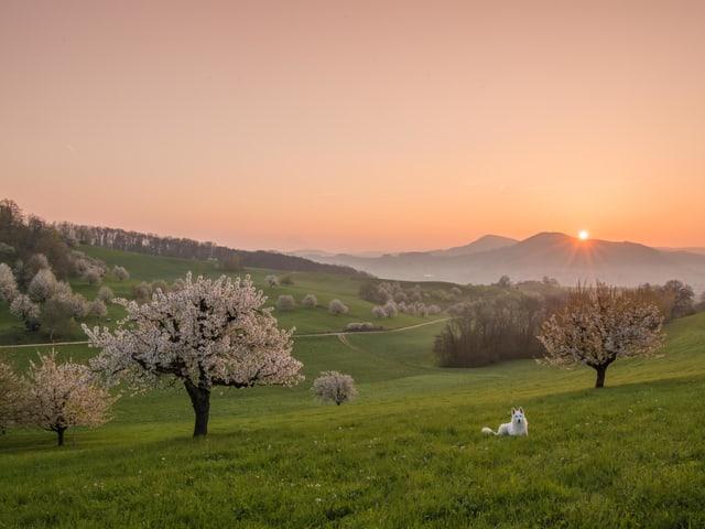 Die Sonne verfärbt den Morgenhimmel rötlich. Im Vordergrund grüne Wiese und blühende Kirschbäume.