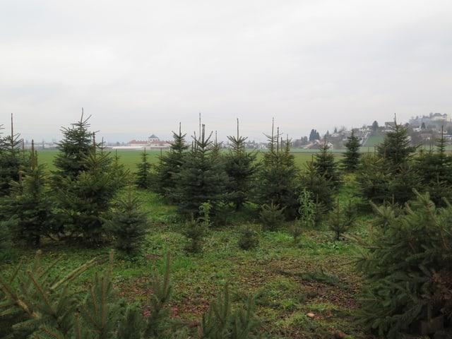Weihnachtsbäume der Familie Kieser
