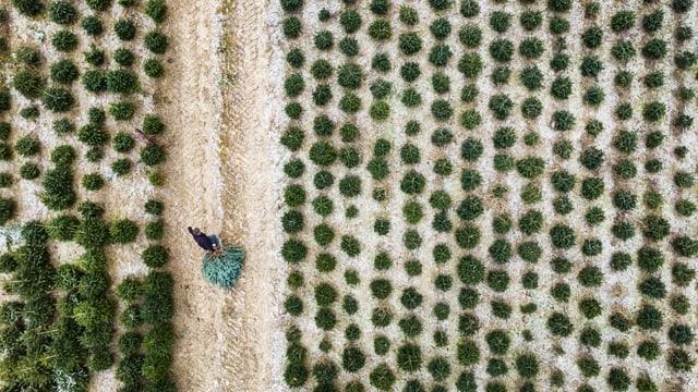 Luftaufnahme von extensivem Tannenbaumanbau.