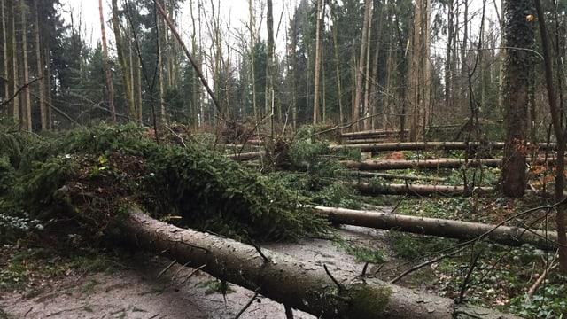 Umgestürzte Bäume in Hünenberg/ZG.