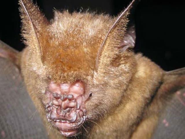 Griffin's Leaf-Nosed Bat