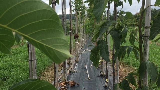 Nussbaumschule in Hörhausen, wo Gubler alle 300 Sorten anpflanzt und ihre Eigenheiten untersucht.
