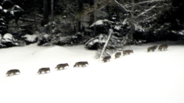 Neun Wölfe laufen hintereinander über ein Schneefeld in den Wald.