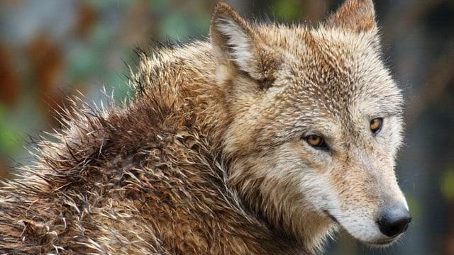 Wolf mit nassem Fell.
