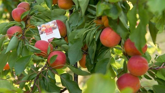 Ein Aprikosenbaum mit vielen Früchten, mit einem Etikett auf dem Wallis steht.