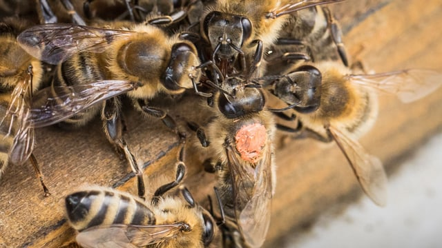 Bienen krabbeln auf einem Bienenstock rum.