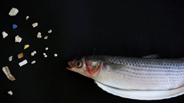 Kleiner Fisch will Mikroplastik essen.
