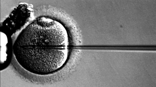 Eine Eizelle wird befruchtet.