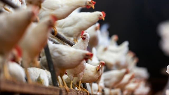 Viele weisse Hühner sitzen auf einer Stange und einem Holzbrett.