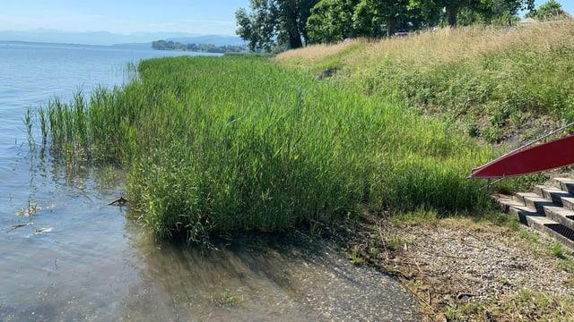 Schilfzonen am Ufer sollten von Stand Up Paddlern gemieden werden, um Wasservögel nicht zu stressen.