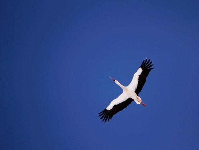 Storch  im Reiseflug am blauen Himmel