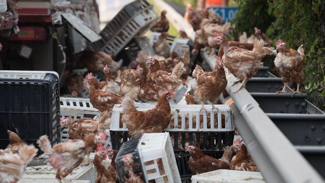 Hühner am Strassenrand
