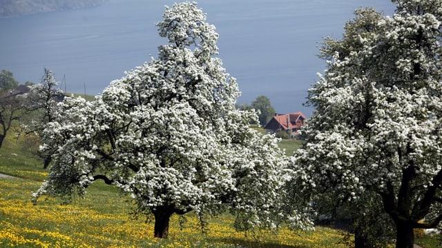 Ein blühender Birnbaum auf einer Wiese.