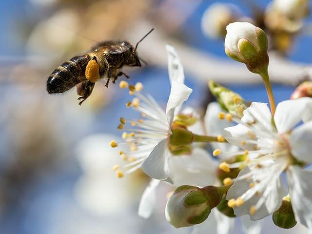 Eine Biene saugt Nektar an einer Blüte.