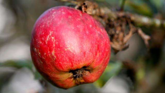 Apfel Grossaufnahme.