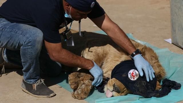 Amir Khalil betäubt einen Löwen.