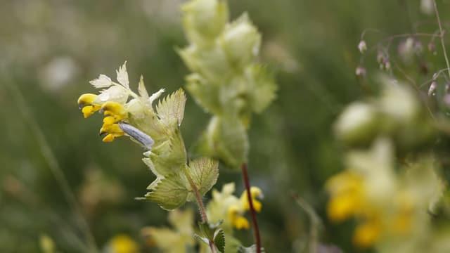 La claffa è ina flur melna che crescha or da pitschens satgins verds e pendan vid in fastì.