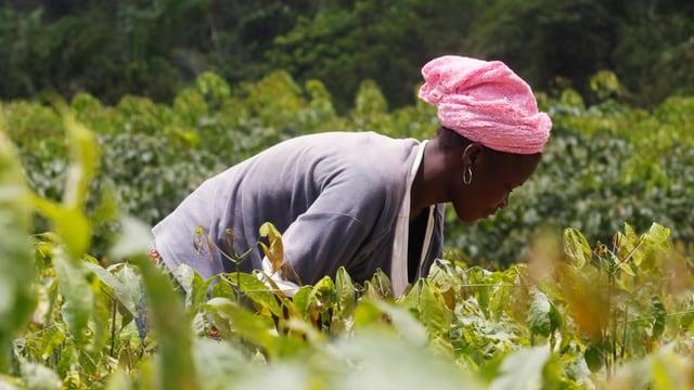 Eine Frau mit einem rosaroten Tuch auf dem Kopf bückt sich in einer Kakao-Plantage.