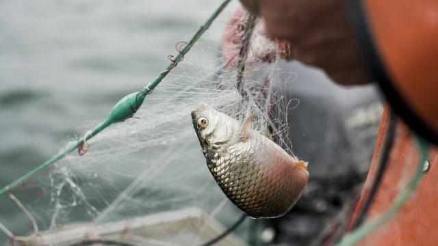Den Berufsfischern auf dem Bodensee sind auch im letzten Jahr sehr wenig Fische ins Netz gegangen.