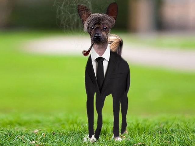 Chinesischer Schopfhund mit Stil