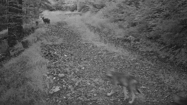 Drei Wölfe auf einem Waldweg.