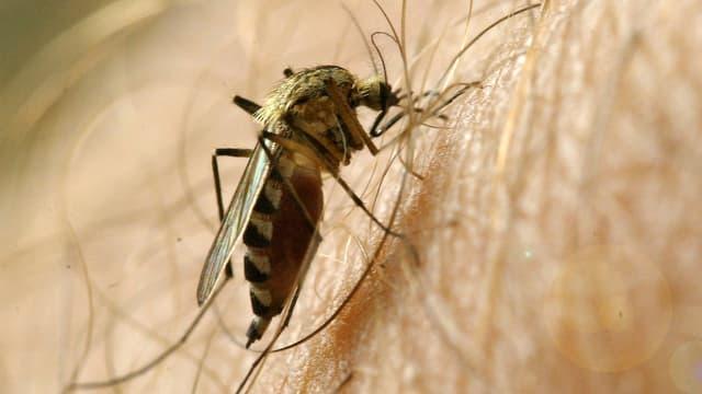 Mücke sticht in einen Arm.