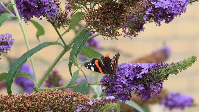 Sommerflieder mit Schmetterling