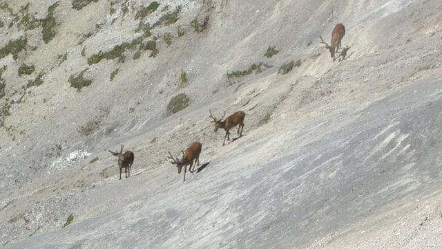 Vier männliche Hirsche wandern einem felsigen Berghang entlang.