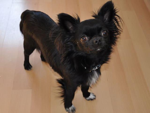 Chihuahua Joey