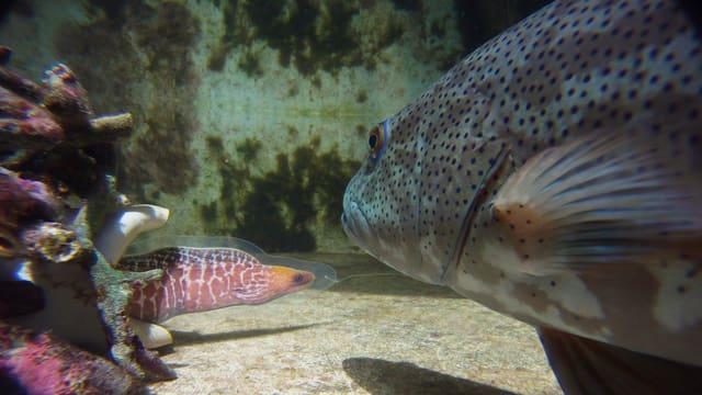 Ein Leopard-Forellenbarsch und eine Muränen-Attrappe im Experimentierbecken der Wissenschaftler.