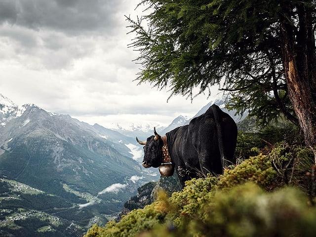 Schwarzes Rind vor Alpenlandschaft.