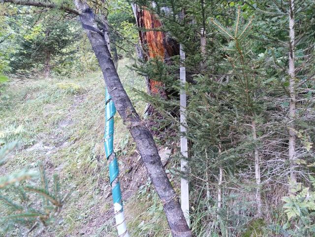 Cun raits da nylon vegnan las plantinas protegidas da la selvaschina.
