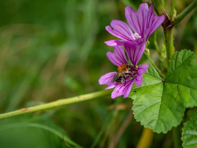 Eine Biene schnuppert an einer Malve.