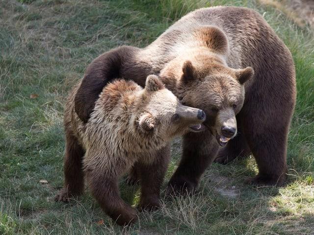 Ein junger und ein ausgewachsener Bär im Berner Bärenpark.