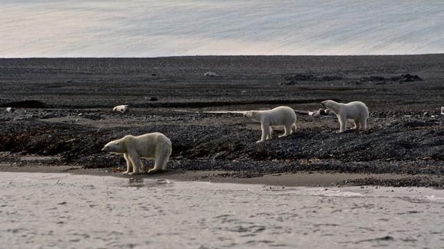3 Eisbären am Meeresufer in Spitzbergen.