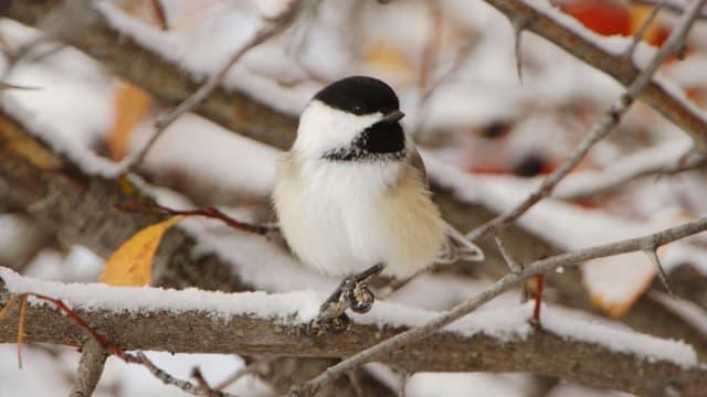 Ein Vogel mit schwarzem Kopf sitzt auf einem verschneiten Zweig.